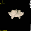 lucy dorsal posterior view of thoracic vertebra