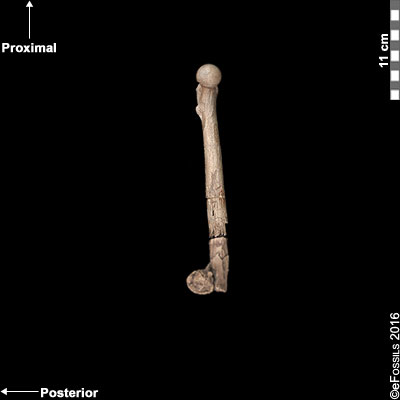 lucy femur medial view
